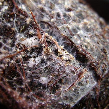 Mycorrhizal fungi, soil microbiota