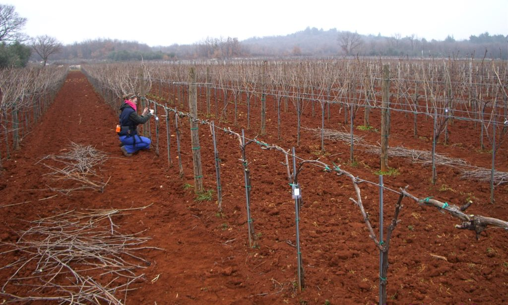 Winery Misal's experimental Pinot Noir planting, Istria 2009