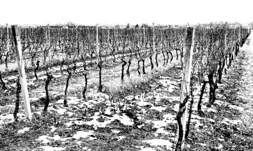 January: Pruning Vines in the Winter Calm