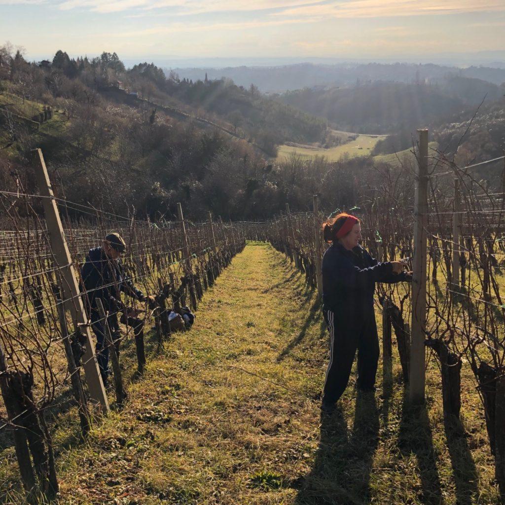 Winter pruning in Korak vineyards, Plešivica