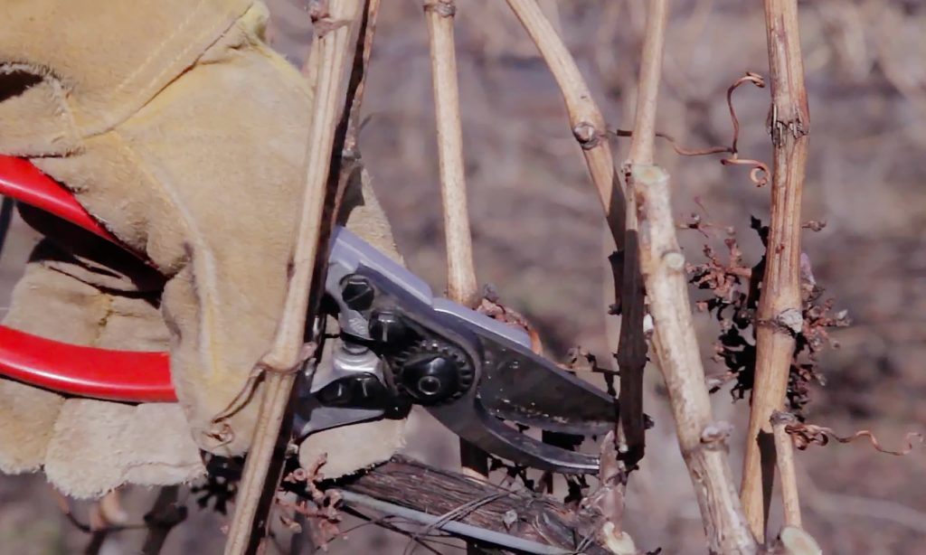 Pruning grapevines in winter