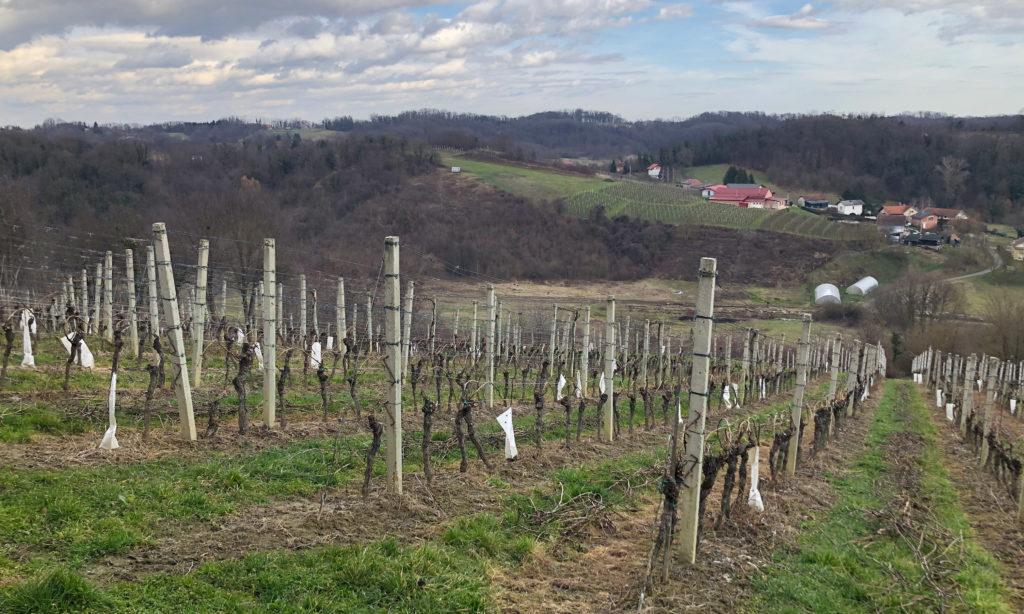 Recently pruned vineyards at Vina Kos, in Prigorje