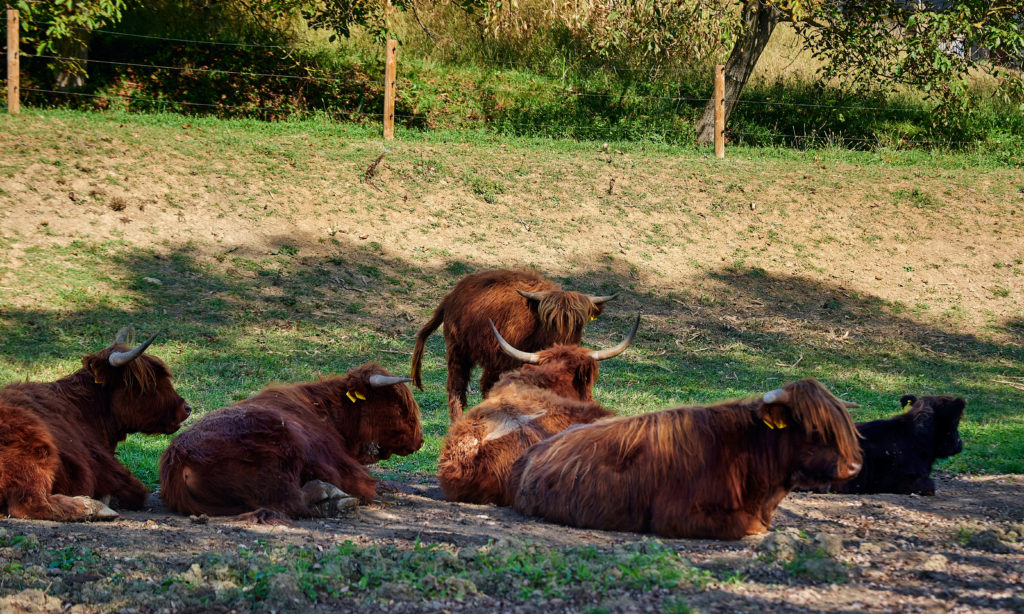 Scottish Highland cattle at Galić winery