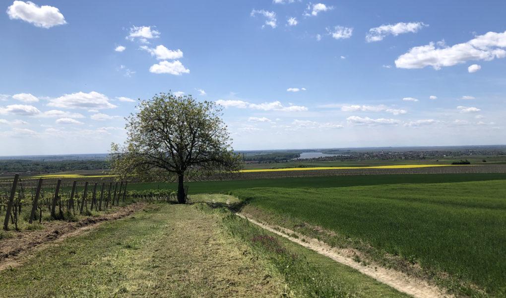Vineyard landscape, Erdut, Croatia