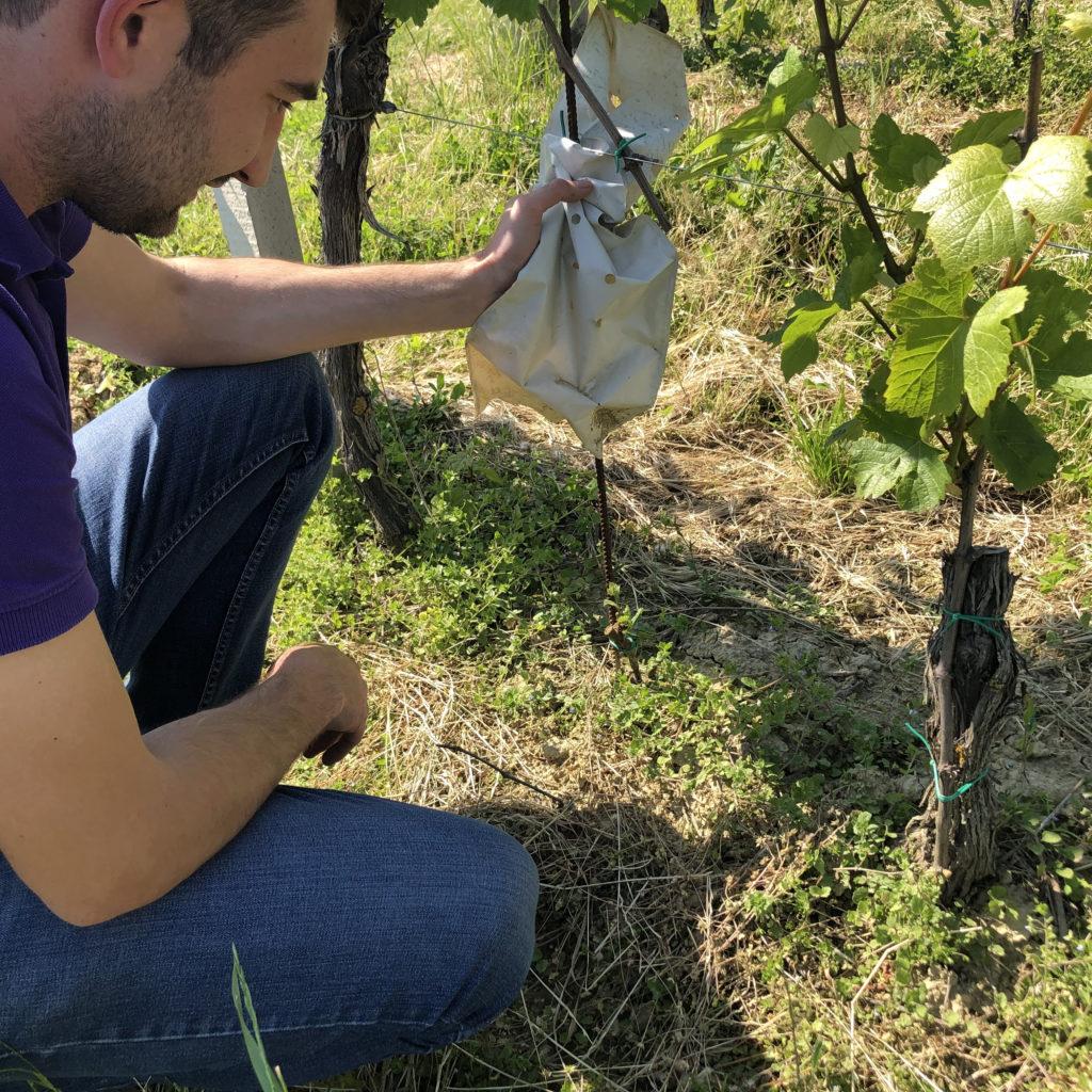 Karlo Kos of Vina Kos in the vineyard, Croatia