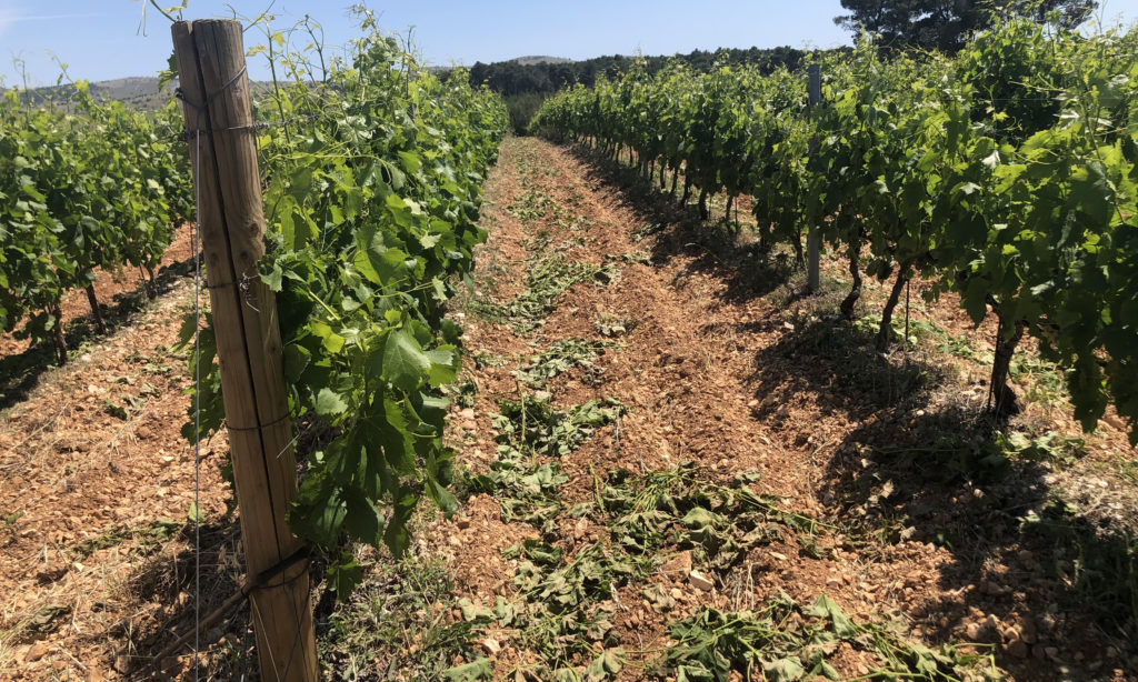 Shoot thinning at Testament Winery, Dalmatia