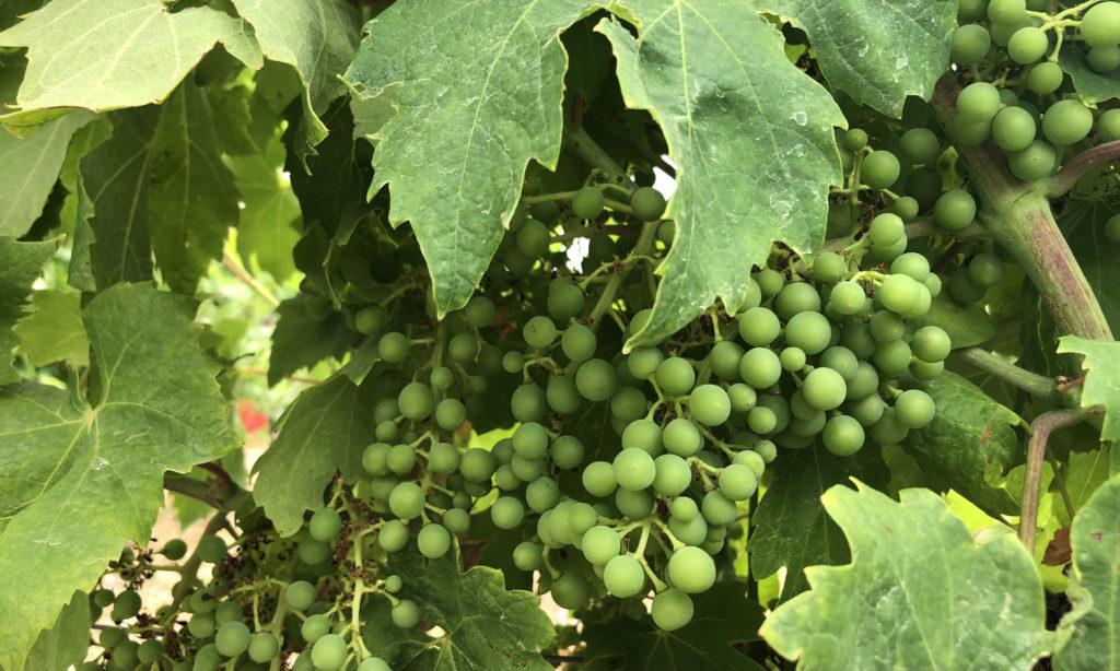 July in the vineyard: green Plavac Mali grapes, Croatia