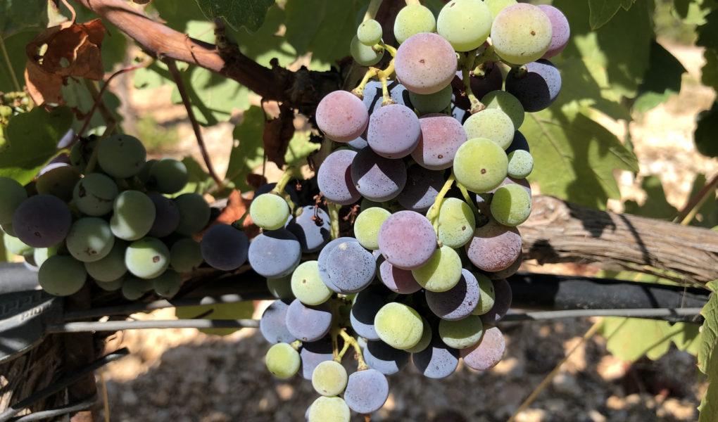 Babić grapes, northern Dalmatia