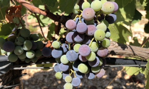 August: Grapes in Technicolor
