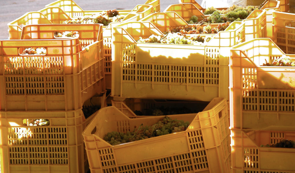 Crates of grapes at harvest