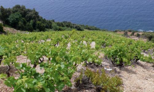 Plavac Mali vineyards in Dingač, Croatia