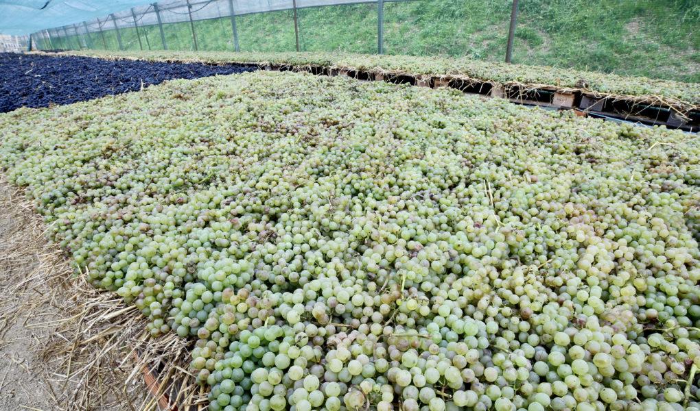 Grapes drying for sweet wine, Benvenuti, Istria
